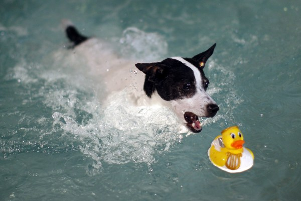 Clapp Pool Hosts Annual K 9 Splashfest